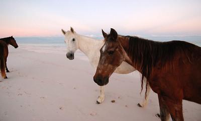 Harbour Island Horses Portfolio