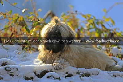 Adventsspaziergang mit der IG-Tibethunde 2012