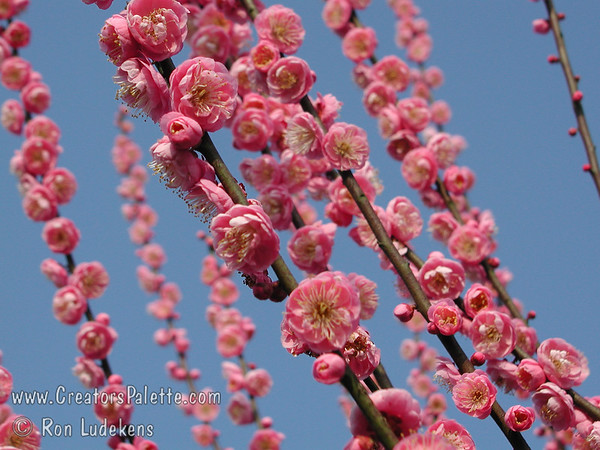 Bonita Flowering Apricot (Prunus mume)