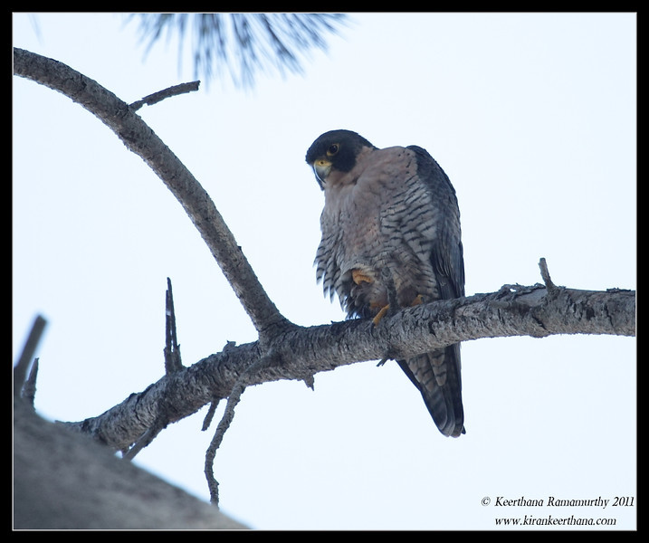 Peregrine Falcon, La Jolla Cove, San Diego County, California, October 2011