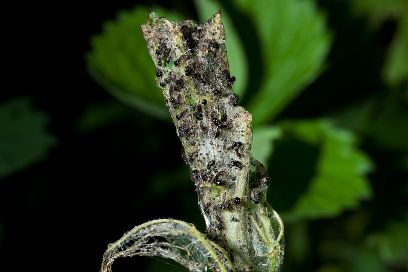 Juvenile caterpillars continue to emerge from their nest, a stinging nettle (urtica dioica) completely cocooned.