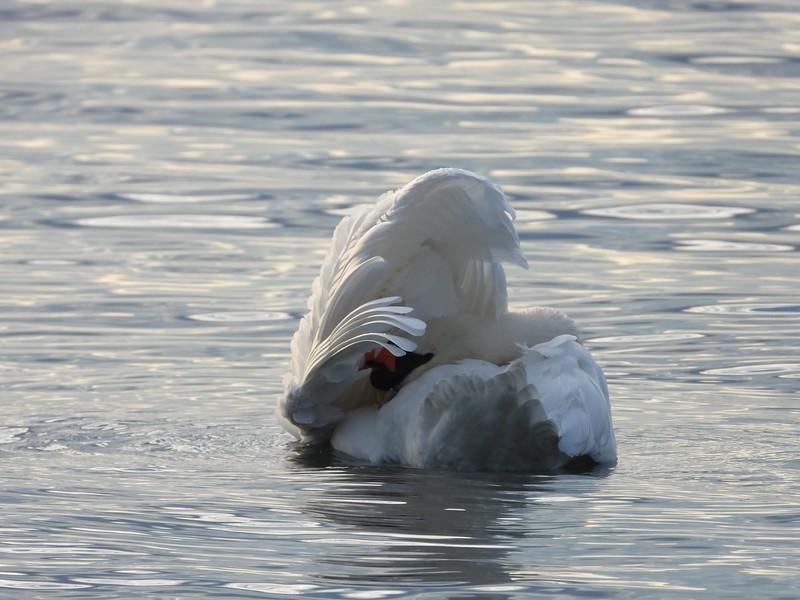 Mute Swan - preening