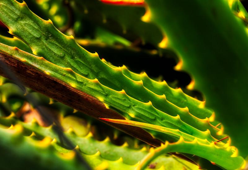 Cactus 2, U. C. Santa Cruz Arboretum, California, 2010