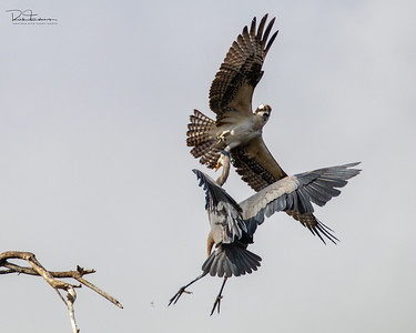 Osprey ~ Atascadero Lake CA