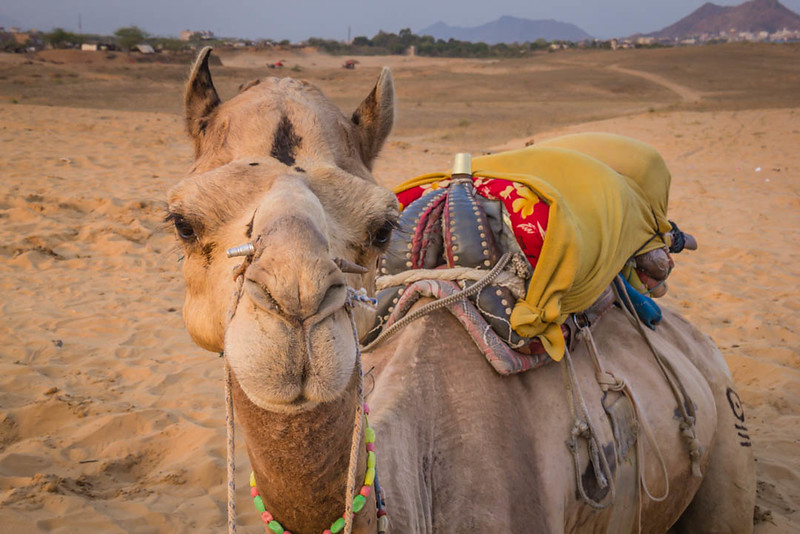 Camel in Pushkar, India