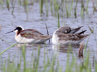 2013 Wilson's Phalarope - Green Valley