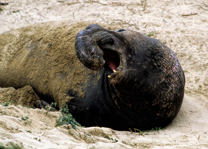 ELEPHANT SEAL - NORTHERN CALIFORNIA
