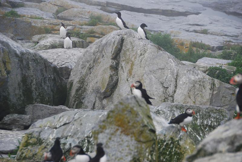 Machias Seal Island Trip - 083