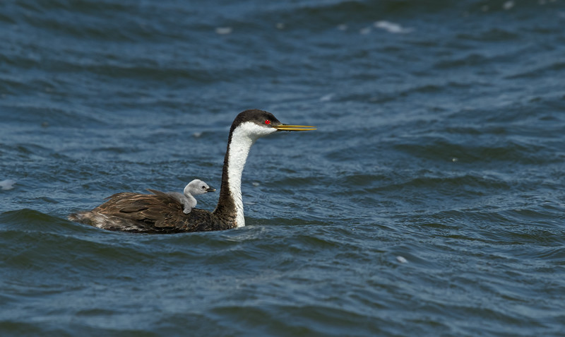 Momma Western Grebe with Chick
