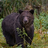 Grizzly Bear - Great Bear Rainforest
