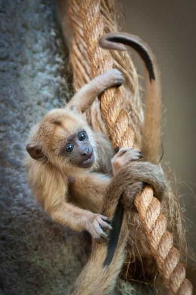"""""""Chi Chi"""" baby Howler Monkey"""