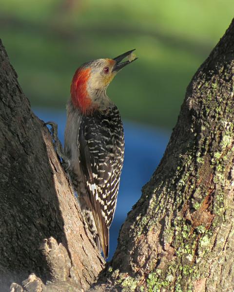 sx50_red_bellied_woodpecker_bit_327.jpg