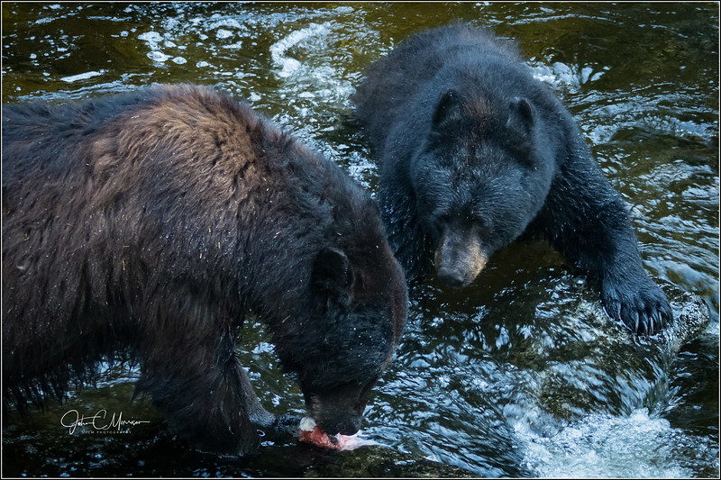 J85_4855 two bears one fish L W.jpg