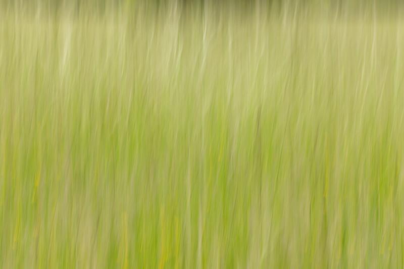 Buttercups in the Hay Field