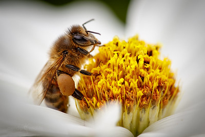 Bees, Wasps and Sawflies