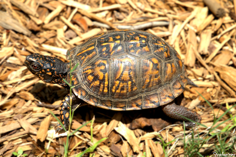 Box Turtle in our garden.