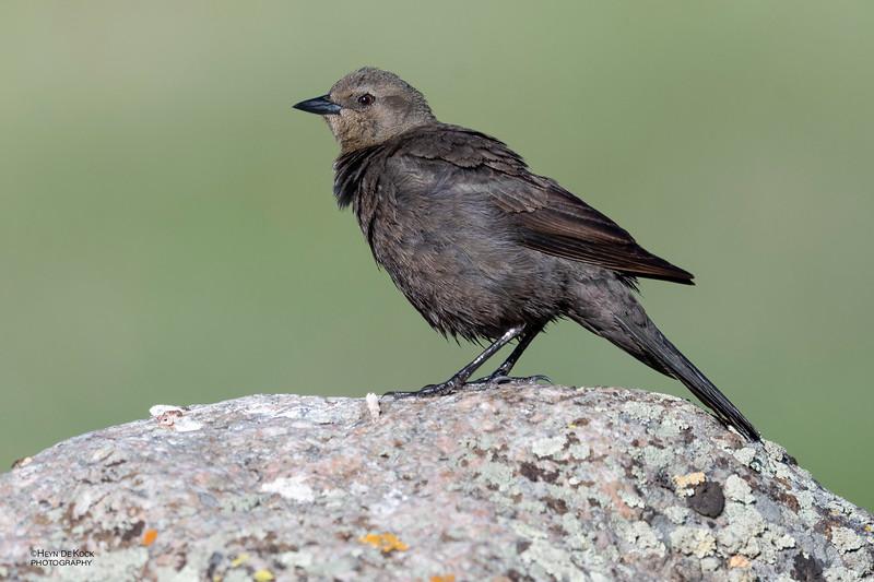 Brewer's Blackbird, f, Yellowstone NP, WY, USA May 2018-3.jpg