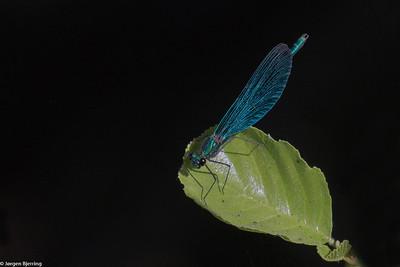 Beautiful Demoiselle - Blåvinget Pragtvandnymfe
