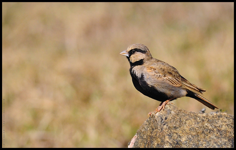 Ashy crowned sparrow lark.....
