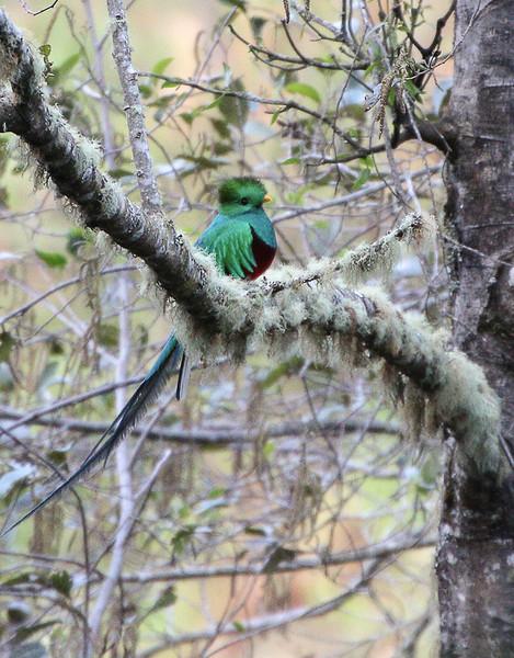 Jane L ~ The Resplendent Quetzal.jpg