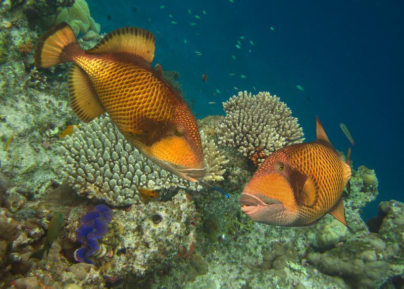 TITAN TRIGGERFISH - MALDIVES