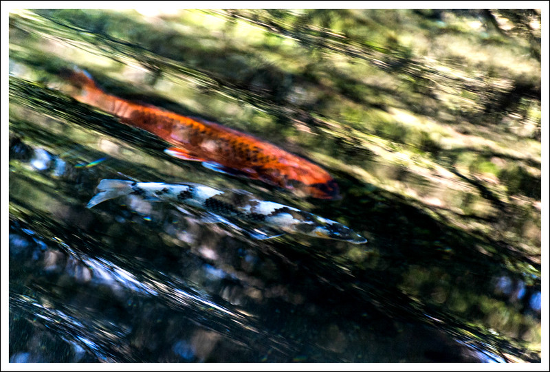 Koi in motion in the pond in Sengokuhara
