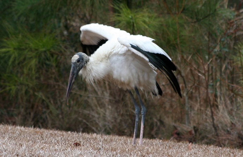 Low Country Wood Stork