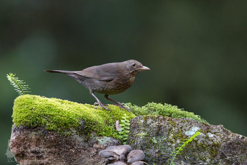 Common Blackbird INT