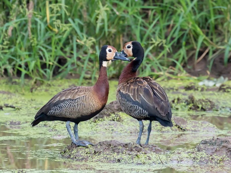 White-faced Whistlind-duck