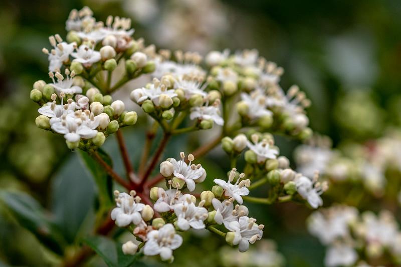 Viburnum Tinus Eve Price-2.jpg