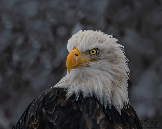 Bald Eagle Videos