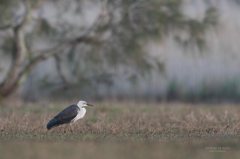 White-necked Heron, Nathan Rd Wetlands, Brisbane, QLD, Sept 2017-1.jpg
