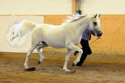 Stallions 8-11 years