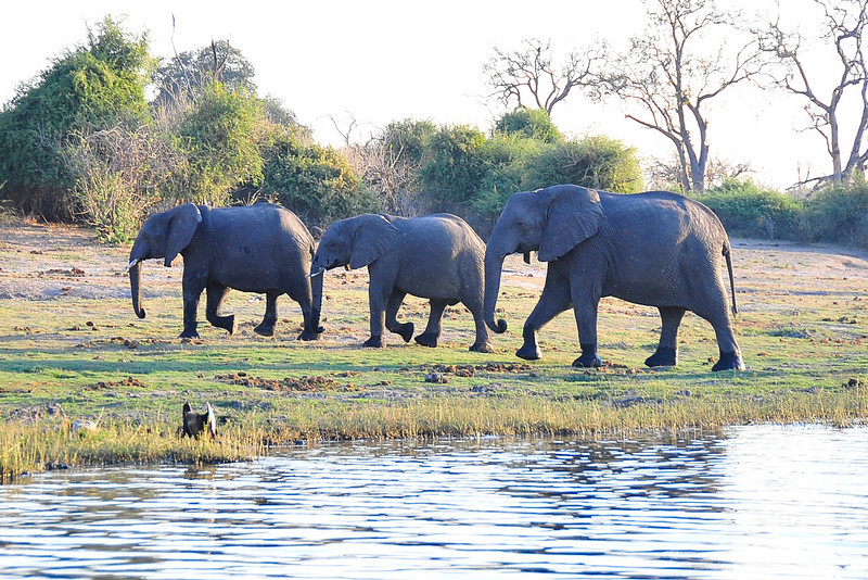 EPV0519 Three Elephants at the Chobe River.jpg