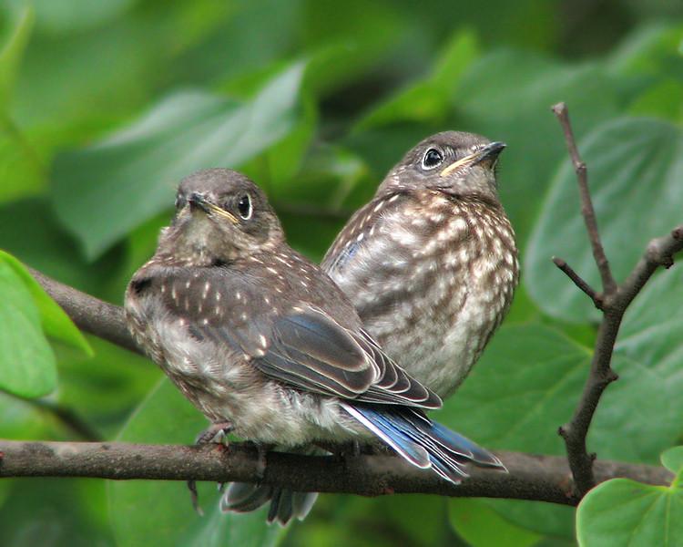 bluebird_fledgling_1174.jpg