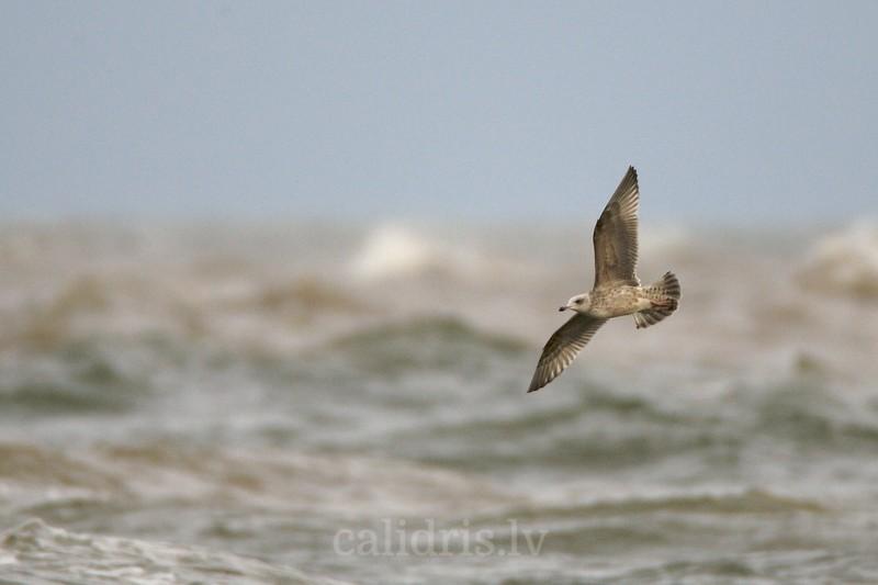 Herring gull in flight over sea