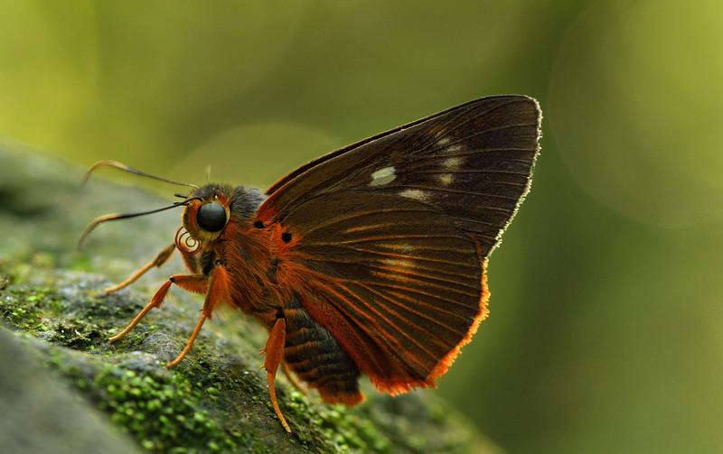 Darjeeling-Common-Orange-Awlet-Meghalaya.jpg