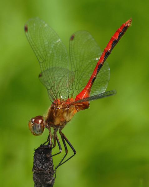 Sympetrum rubicundulum (Ruby Meadowhawk), GA - male