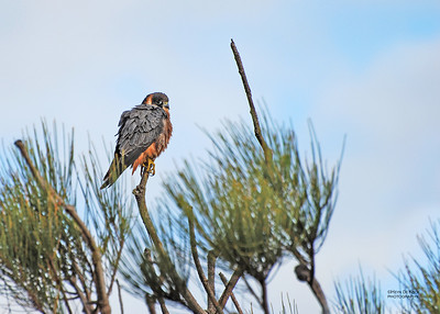 Australian Hobby (Falco longipennis)
