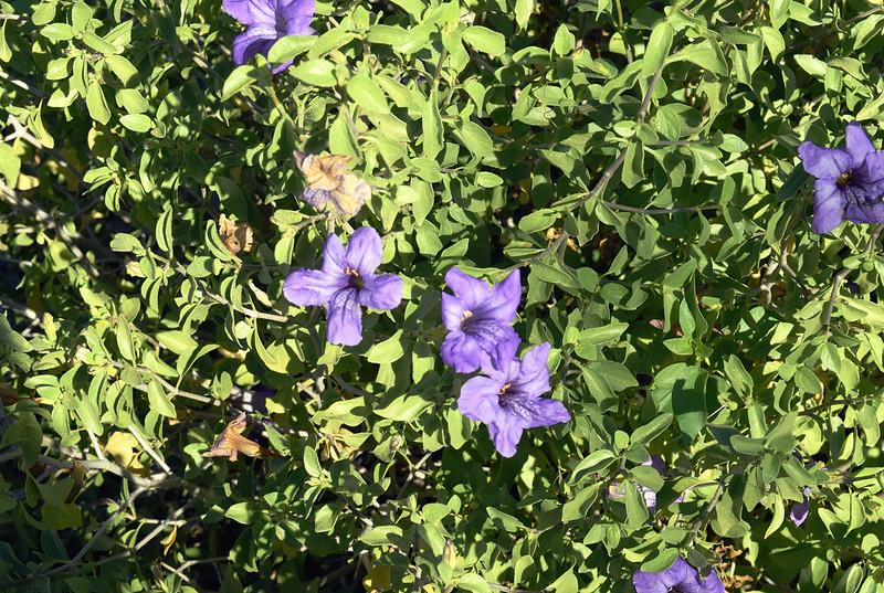 Blue Potato Bush Solanum Lycianthes Rantonnetii.JPG