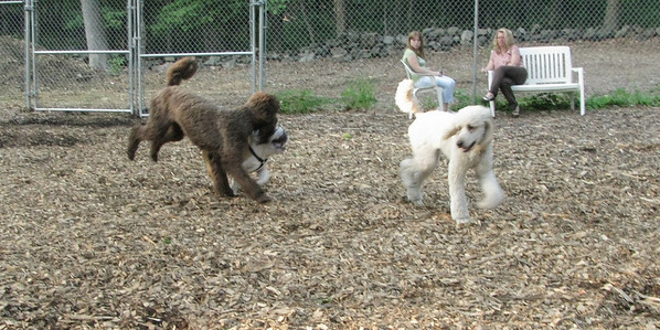 BUDDY With THE Poodles