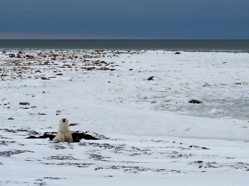 Polar bear at the Hudson Bay in Manitoba
