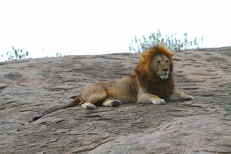 Lion on the Rocks.JPG