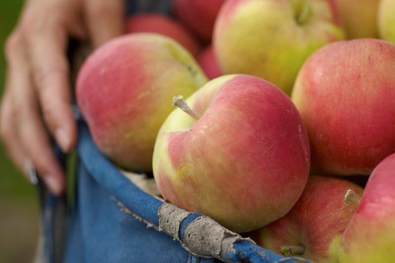 Sunrise Apples in picking basket