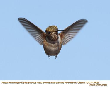 Rufous Hummingbird M29060.jpg