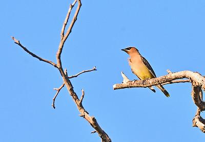 Wax Wings, Shady Great Blue Heron at Mill Creek, 9-7-15