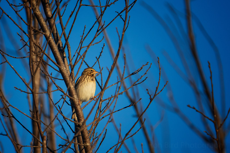 9.30.20 Beaver Lake Nursery: Savannah Sparrow.