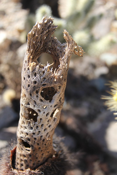 20190524-25-SoCalRCTour-Cholla Cactus Garden Trail-Joshua Tree NP.JPG