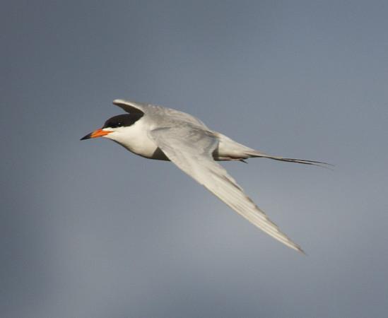 Forster's Tern Sterna forsteri