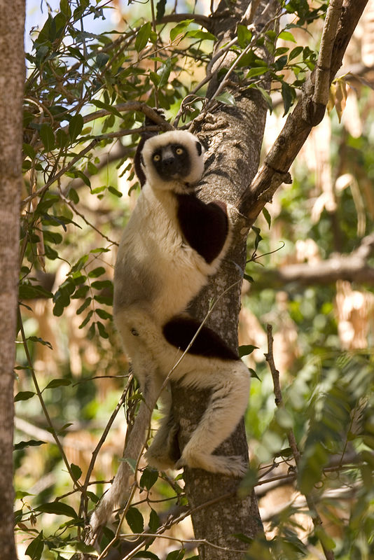 Coquerel's Sifaka (Propithecus verreauxi coquereli) in Parc National Ankarafantsika. The legs of the sifakas are very stong and long, and the hands big, both adapted for leaping and climbing in the trees. 8/20/05.